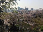 平成30年 境内の桜2