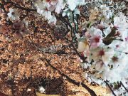 平成30年 境内の桜ライトアップ