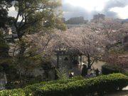 平成31年 境内の桜2