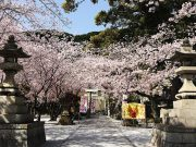 平成30年 境内の桜1
