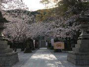 平成31年 境内の桜1