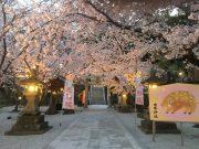 平成31年 境内の桜ライトアップ